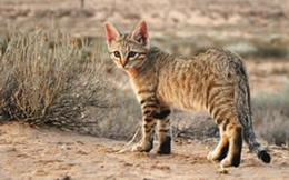 African wild cats in Kruger National Park