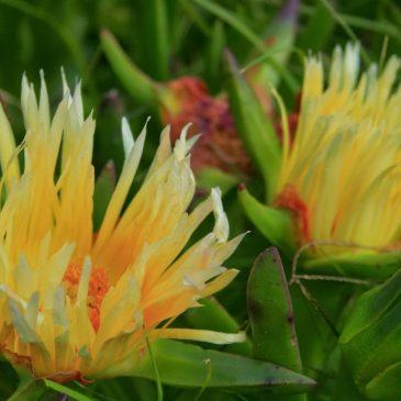 Medicinal Plant: Carpobrotus edulis (sour fig)