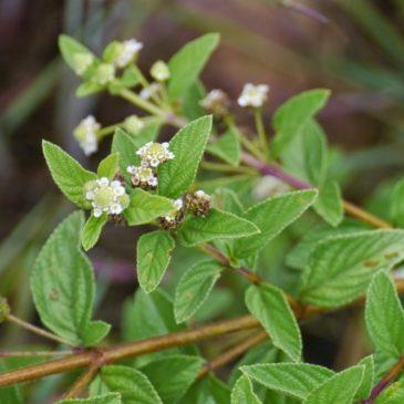 Medicinal Plant: Lippia javanica (fever tea)